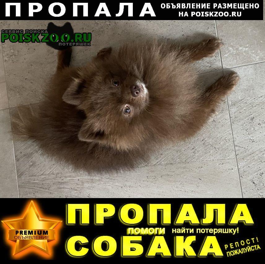 Пропала собака кобель шоколадный шпиц Обнинск