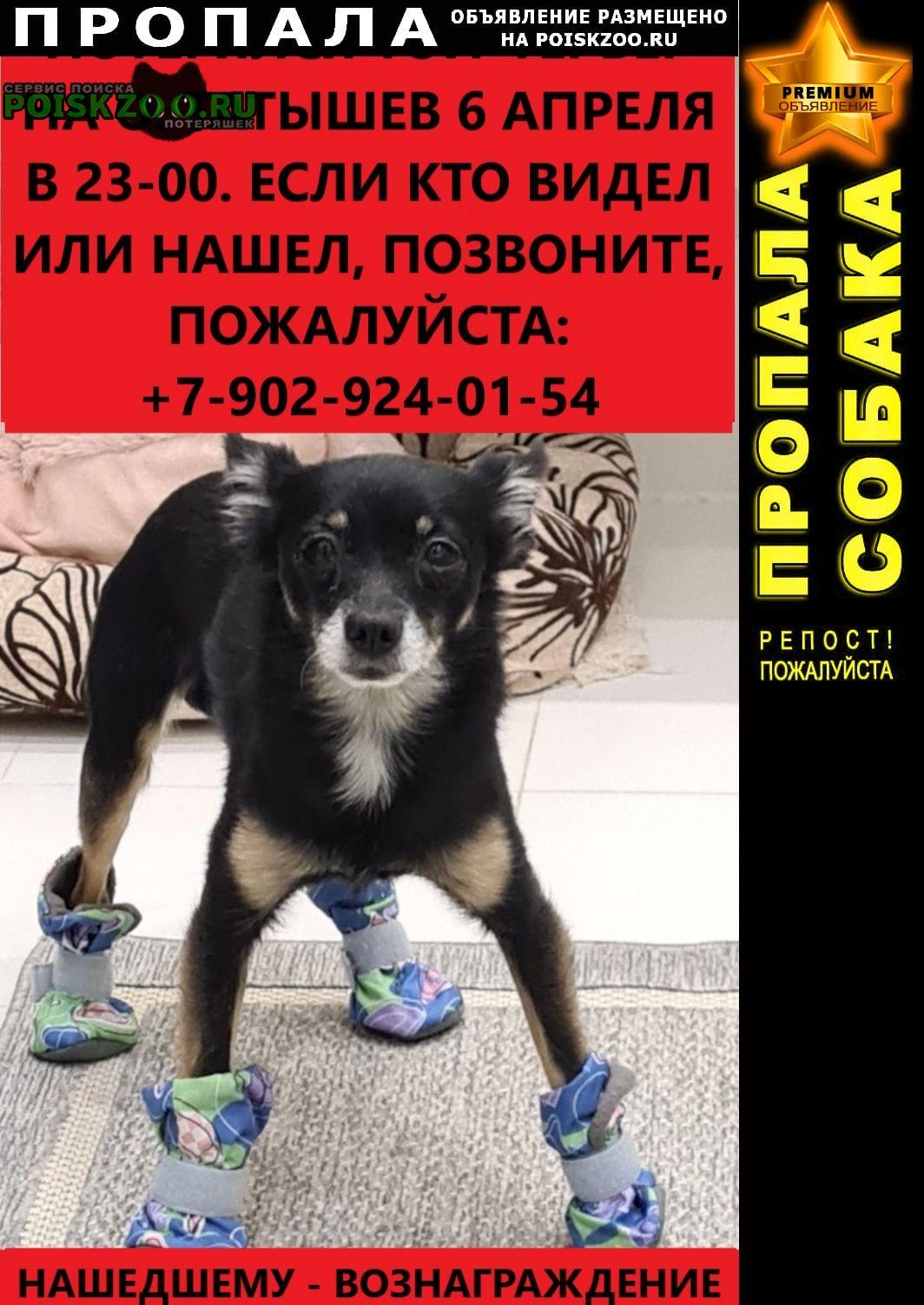 Пропала собака кобель русский той-терьер Красноярск