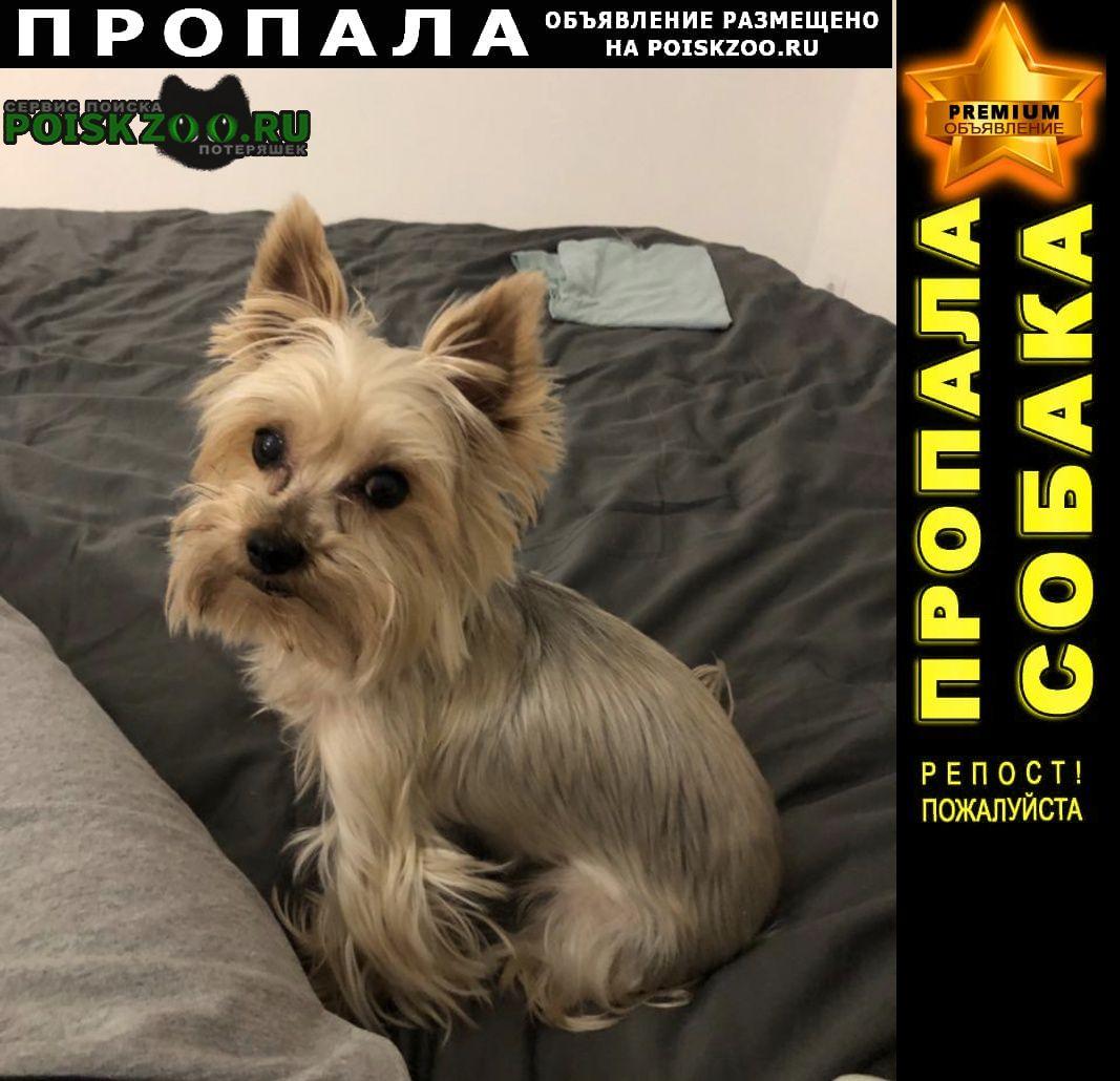 Пропала собака йоркширский терьер, 12 апреля 202 Санкт-Петербург