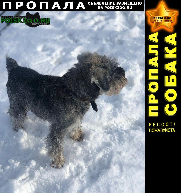 Пропала собака кобель цвергшнауцер чаки, перец с солью Пенза