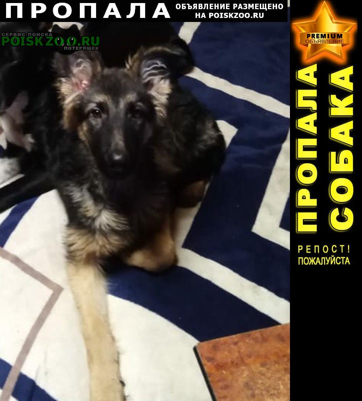 Пропала собака немецкая овчарка Красноярск