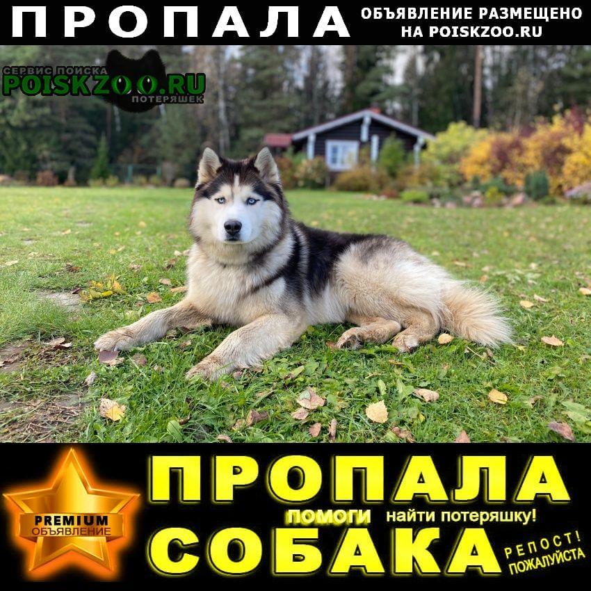 Пропала собака кобель хаски, 7 лет, макс Киржач