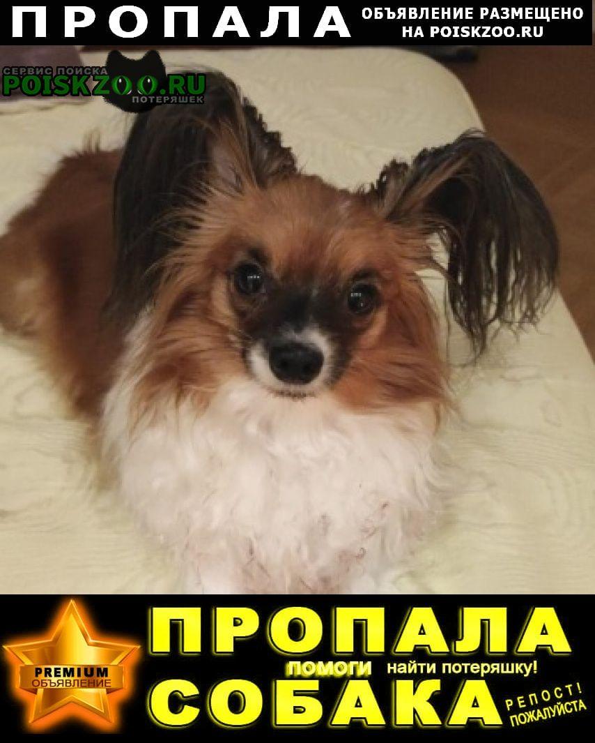 Пропала собака папильон (папийон) девочка рыже-белая Москва