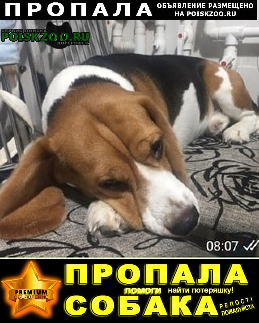 Пропала собака кобель бигль Ржев