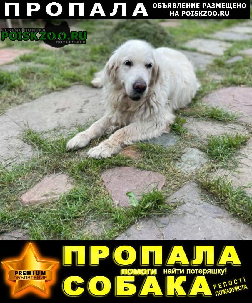 Пропала собака золотистый ретривер Яхрома