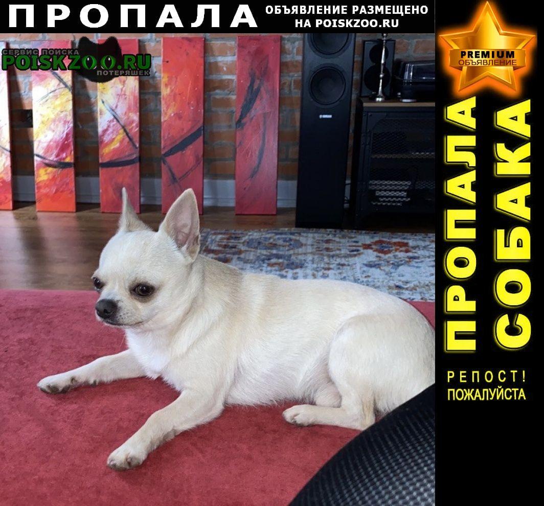 Пропала собака кобель чихуахуа Абрау-Дюрсо