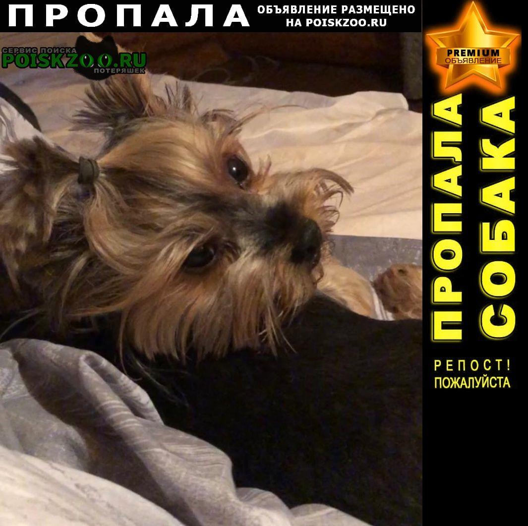 Пропала собака йорк - девочка Чехов