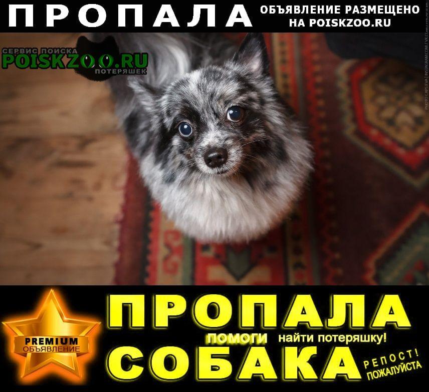 Новосибирск Пропала собака кобель шпиц