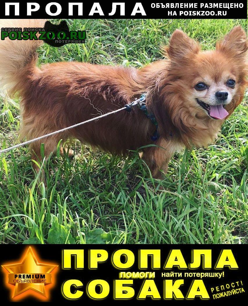 Пропала собака кобель рыжий чихуа (мальчик) Екатеринбург