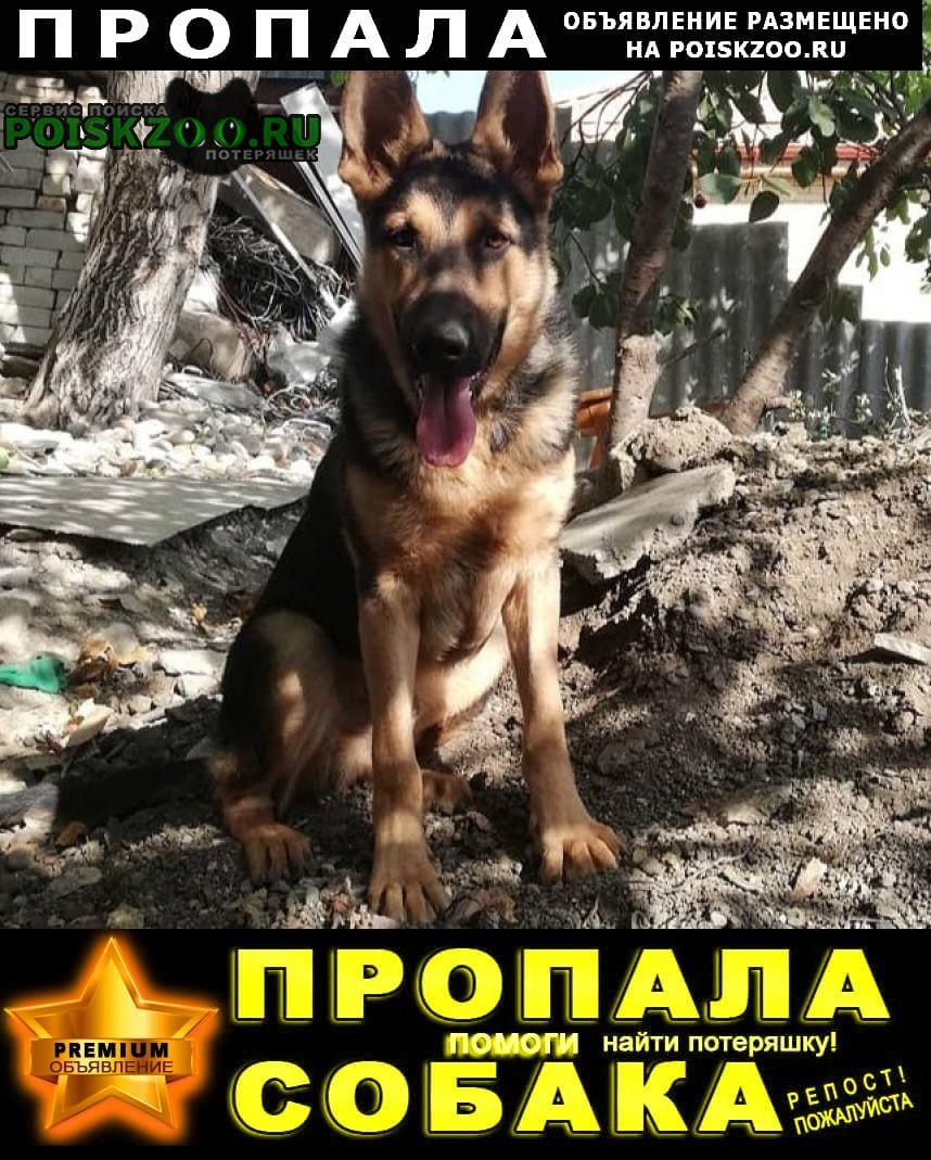 Пропала собака кобель овчарка Пятигорск