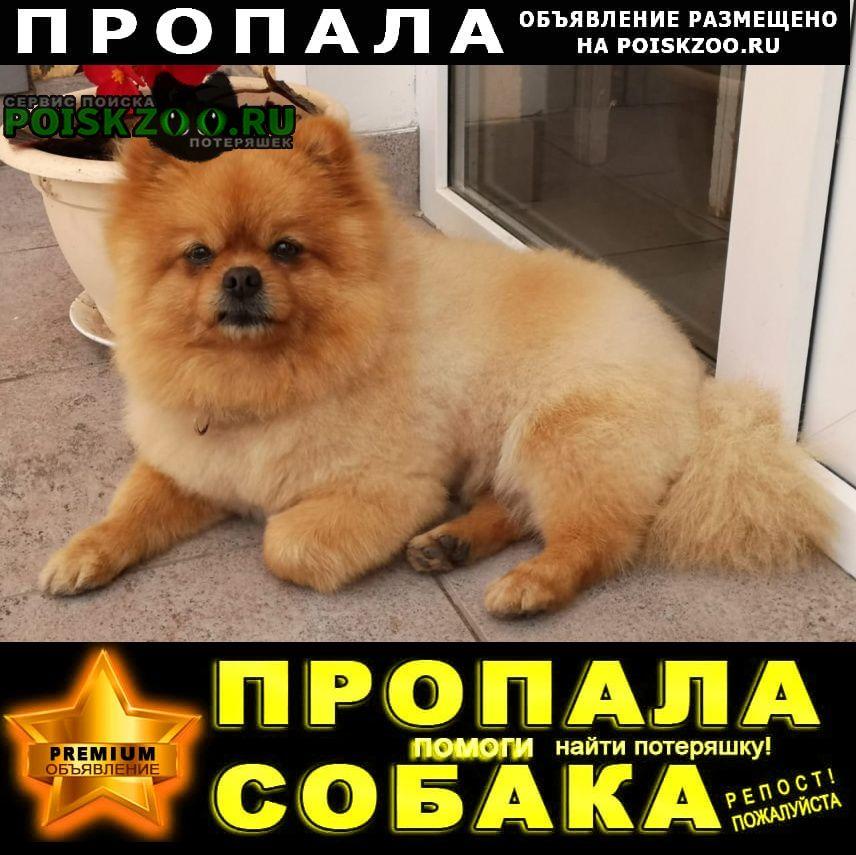 Белгород Пропала собака кобель шпиц