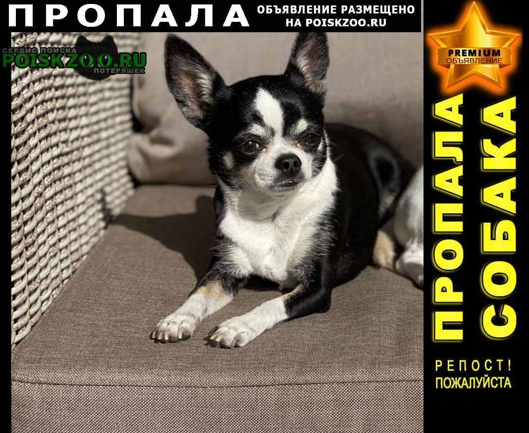 Пропала собака чихуахуа девочка Подольск