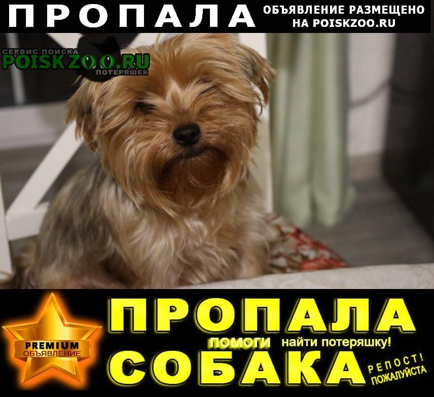 Пропала собака породы йорк. Батайск
