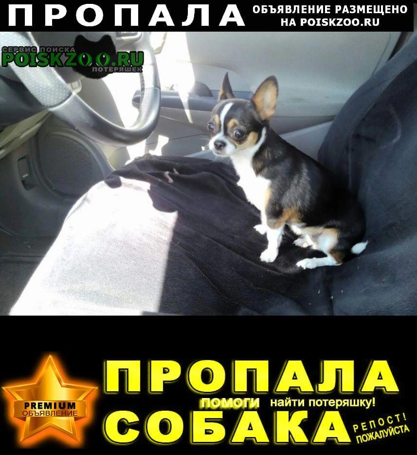 Ангарск Пропала собака породы чихуахуа