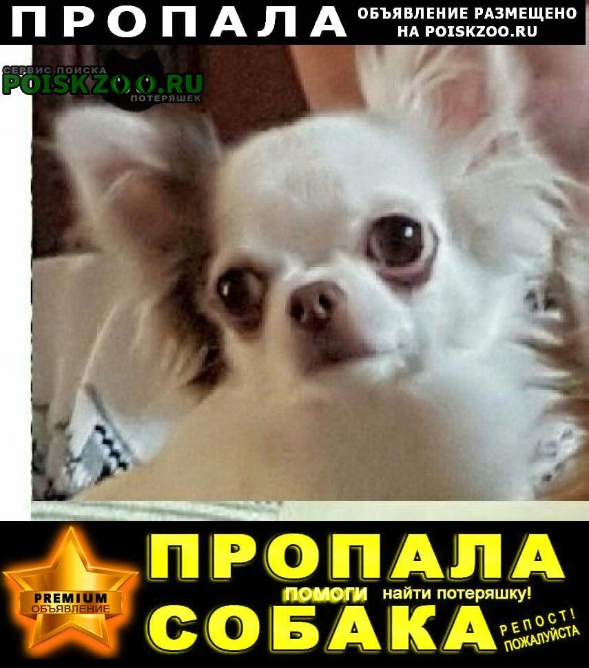 Пропала собака потерялась мини чихуахуа белая с черным Нижний Новгород
