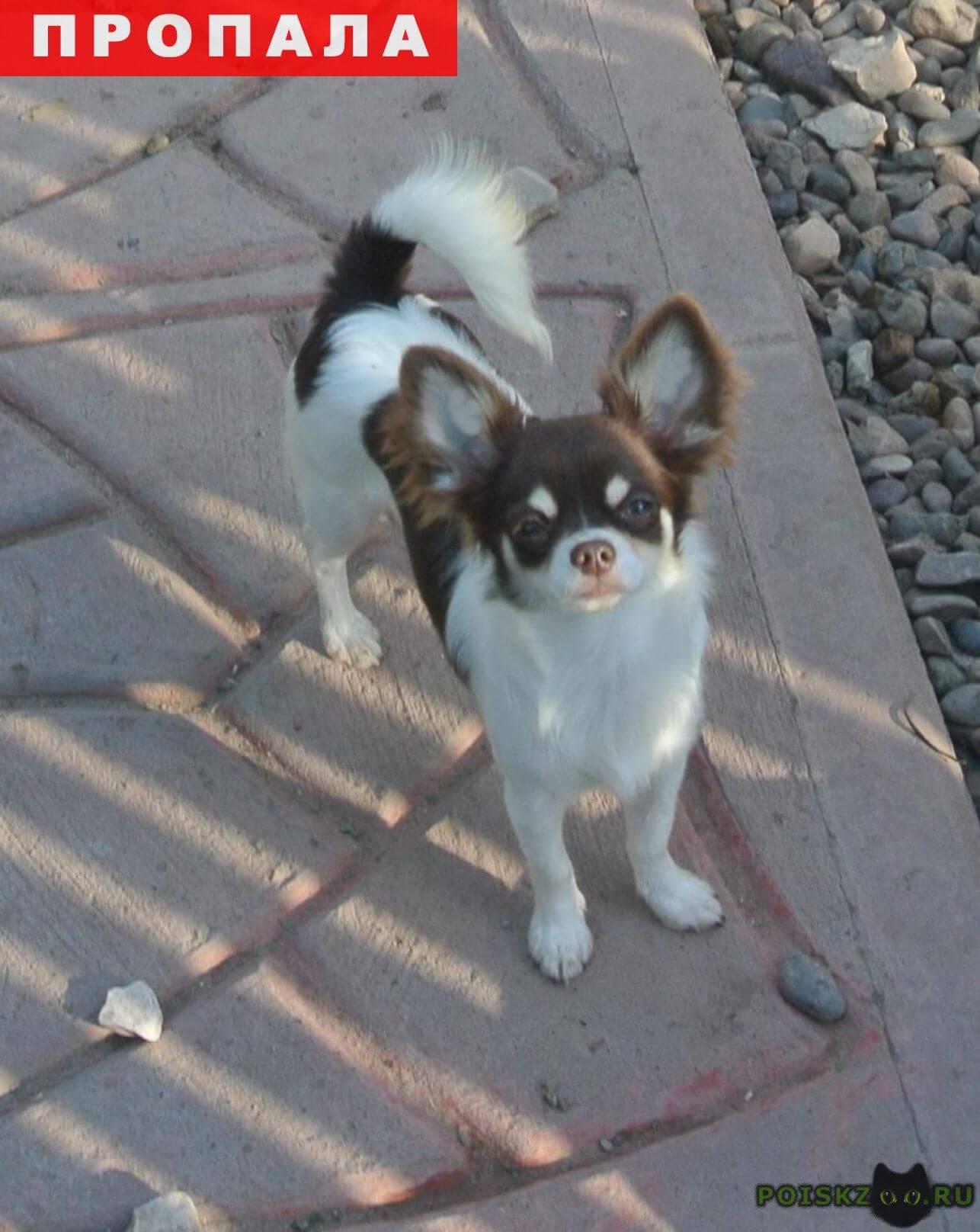 Пропала собака чихуахуа сука длинношерстная г.Ульяновск