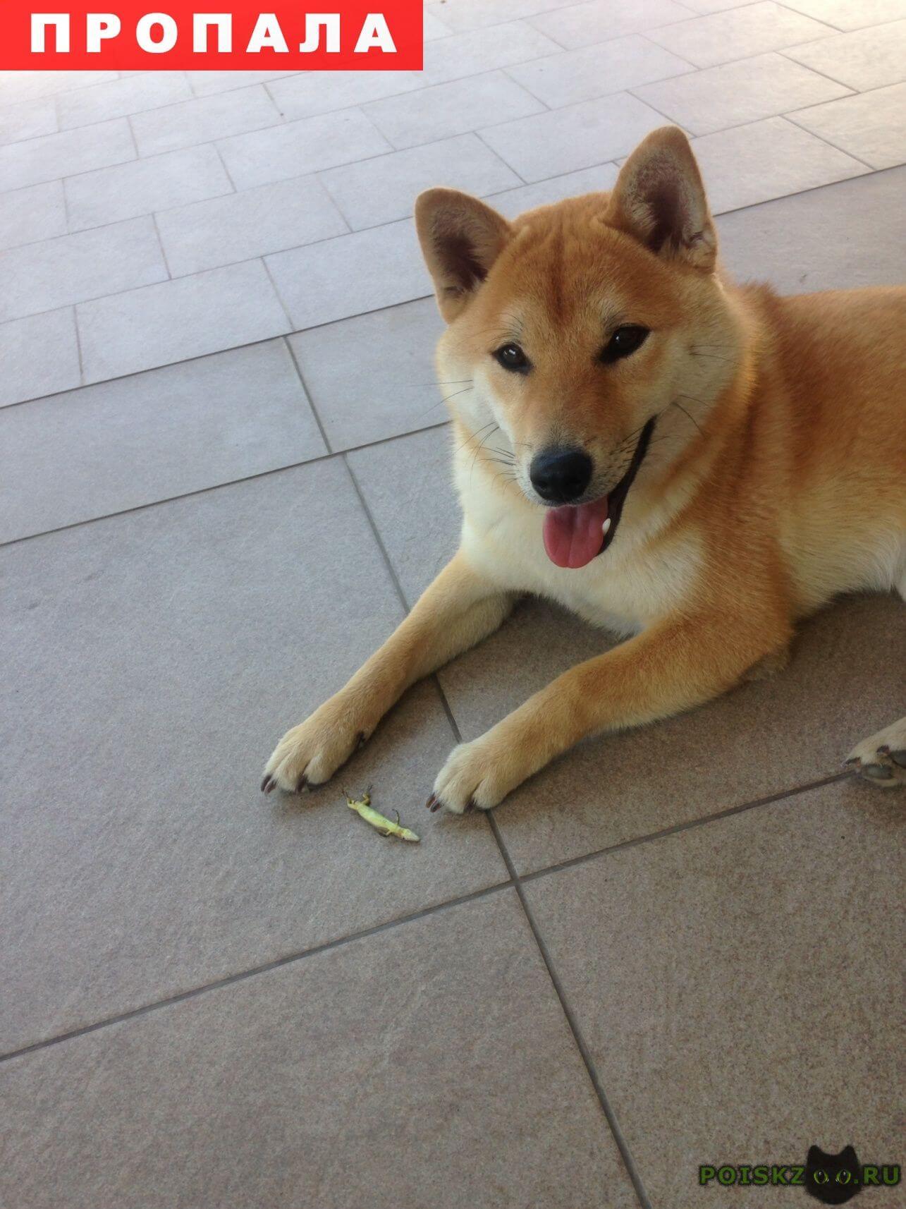 Пропала собака сибу ину. рыжий лисёнок. г.Краснодар