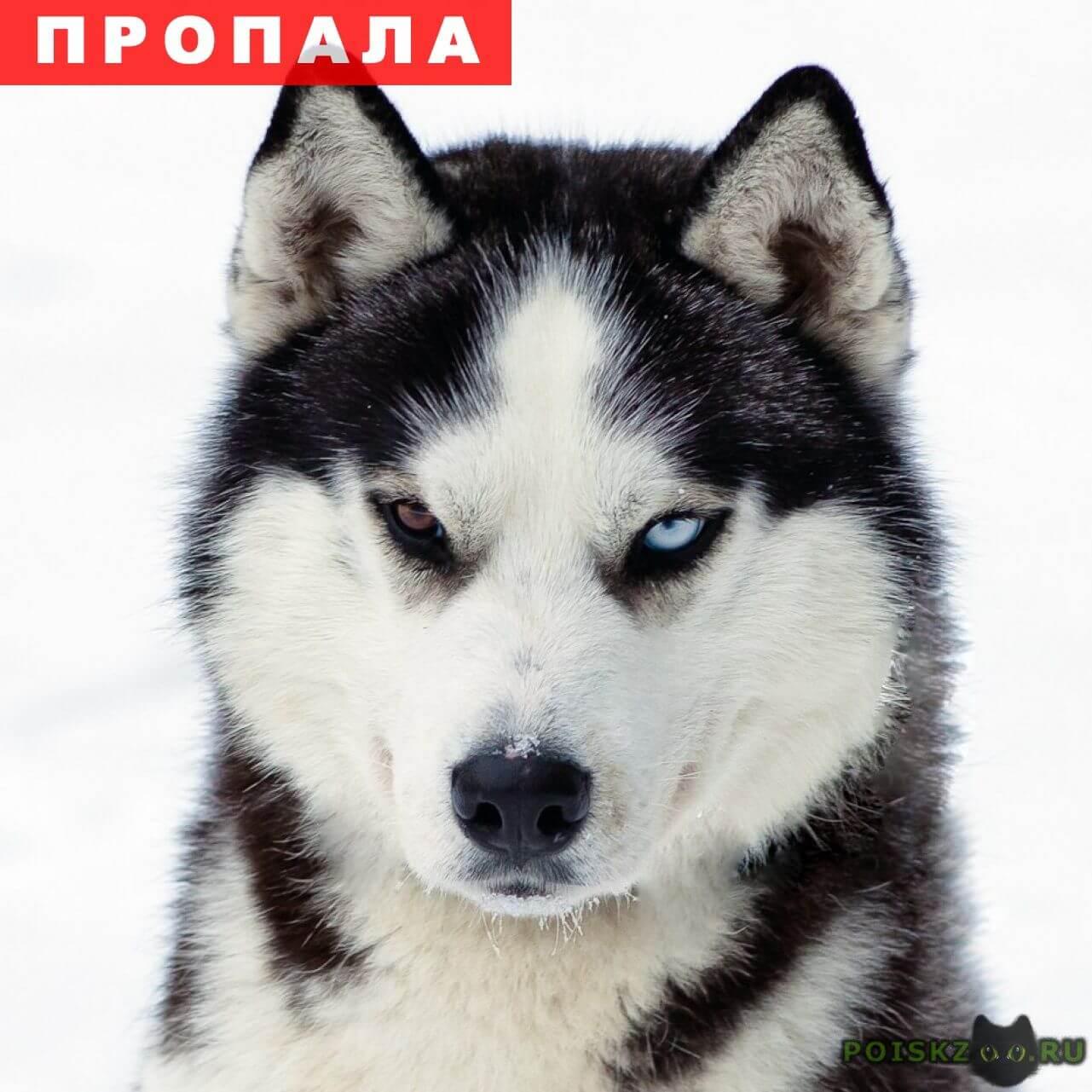 Пропала собака кобель мальчик арчи, порода хаски. г.Краснодар