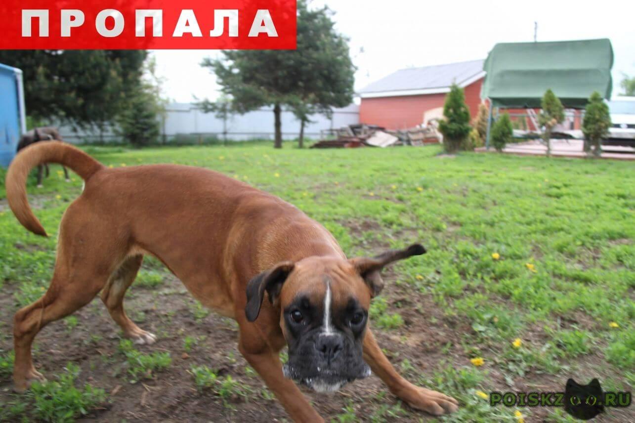 Пропала собака две суки немецкого боксера г.Бронницы