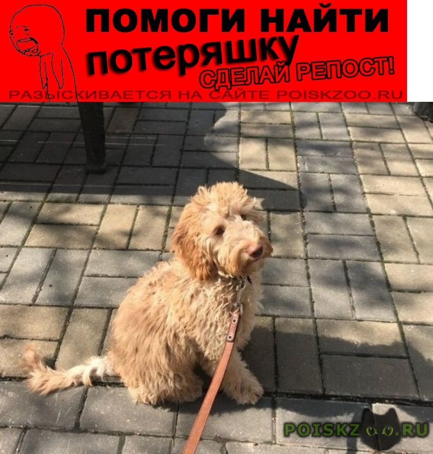 Пропала собака метис пуделя и лабрадора (светло-корич) г.Москва