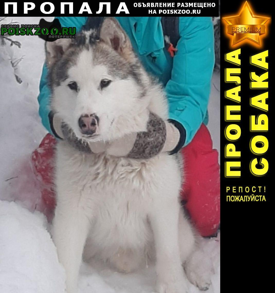 Пропала собака потерялась маламут Петрозаводск