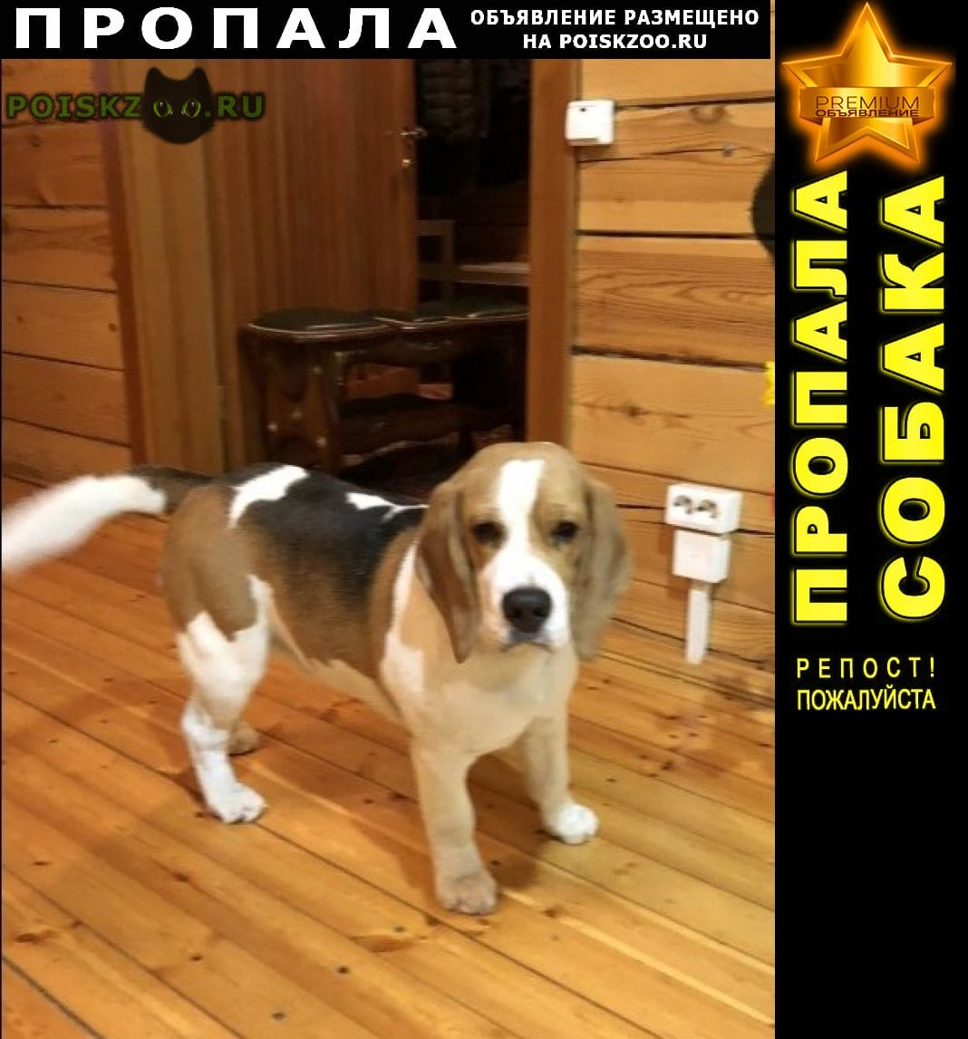 Пропала собака кобель бигль г.Иркутск