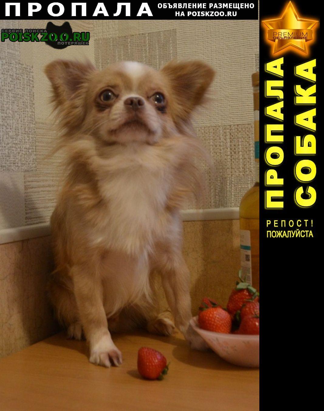 Пропала собака кремовый кобель чихуа Санкт-Петербург