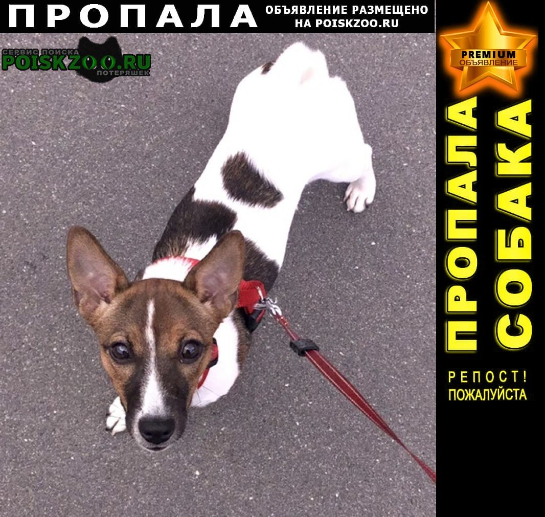 Пропала собака джек-рассел Санкт-Петербург