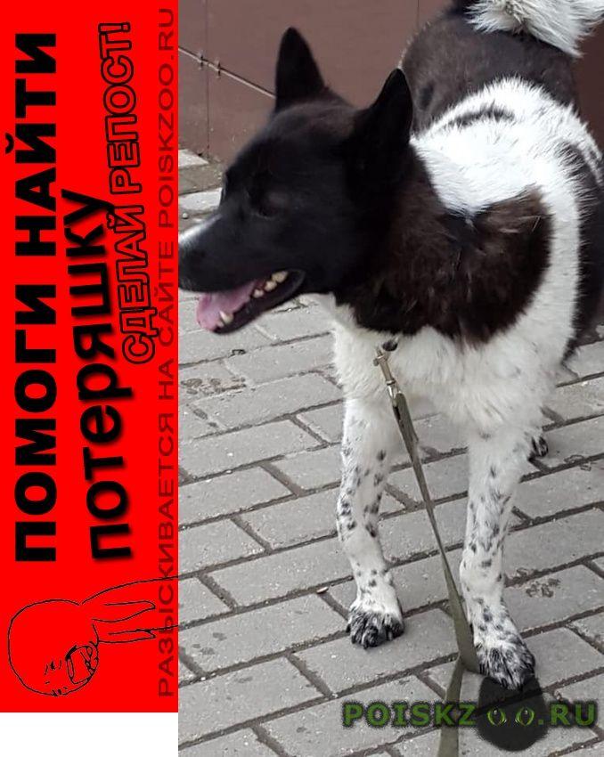 Пропала собака кобель бело-чёрный, крупный, в жаворонках г.Одинцово