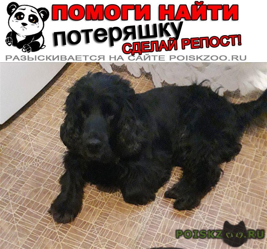Пропала собака 4.01 спаниель черный с хвостом г.Орехово-Зуево