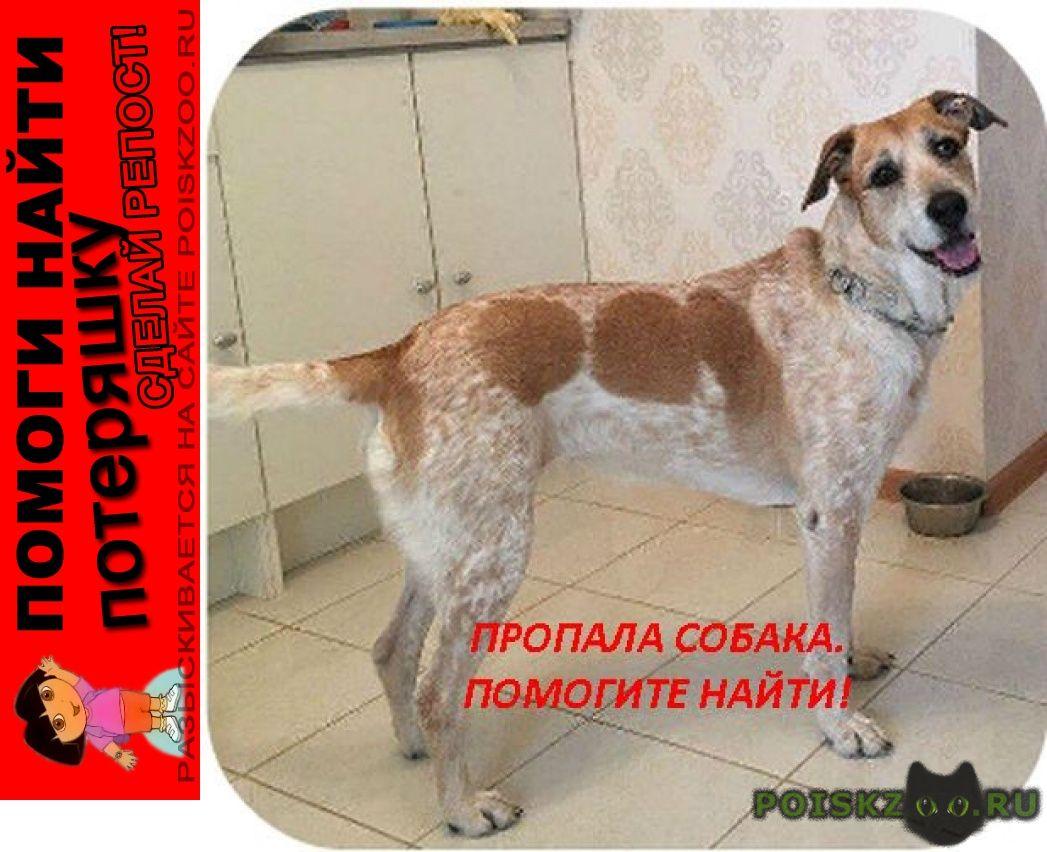 Пропала собака метис, девочка. на белом фоне крап, пятна г.Москва