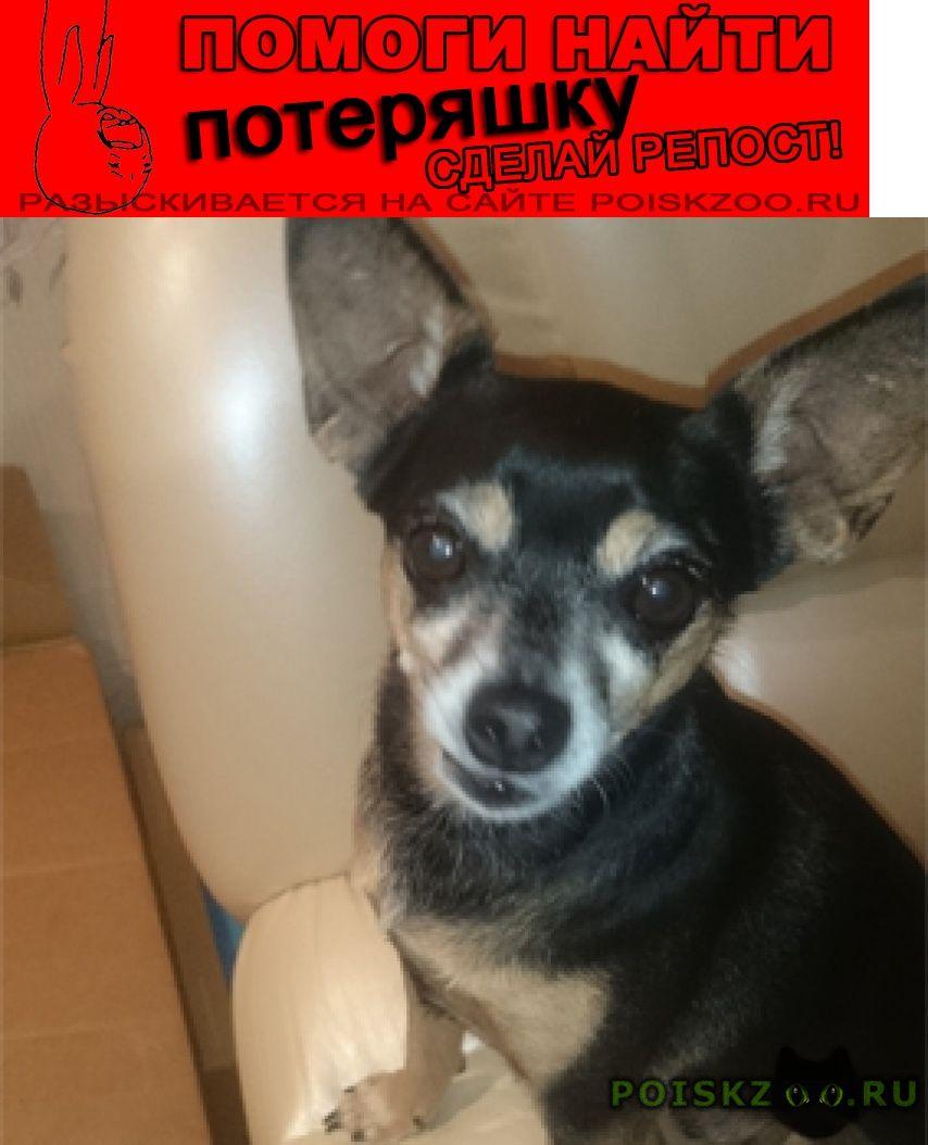 Пропала собака кобель. собака, кабель той г.Лосино-Петровский