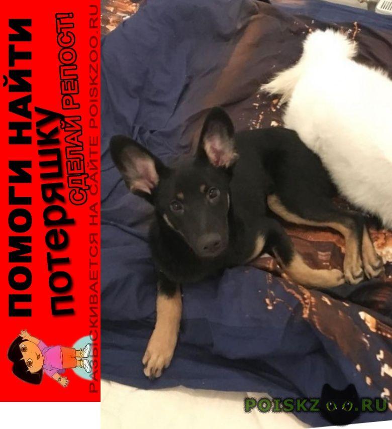Пропала собака кобель молодой по кличке бумер г.Балабаново