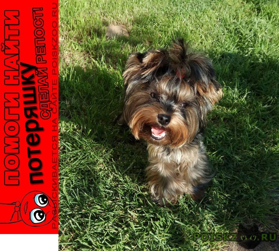 Пропала собака йоркширский терьер девочка г.Иваново