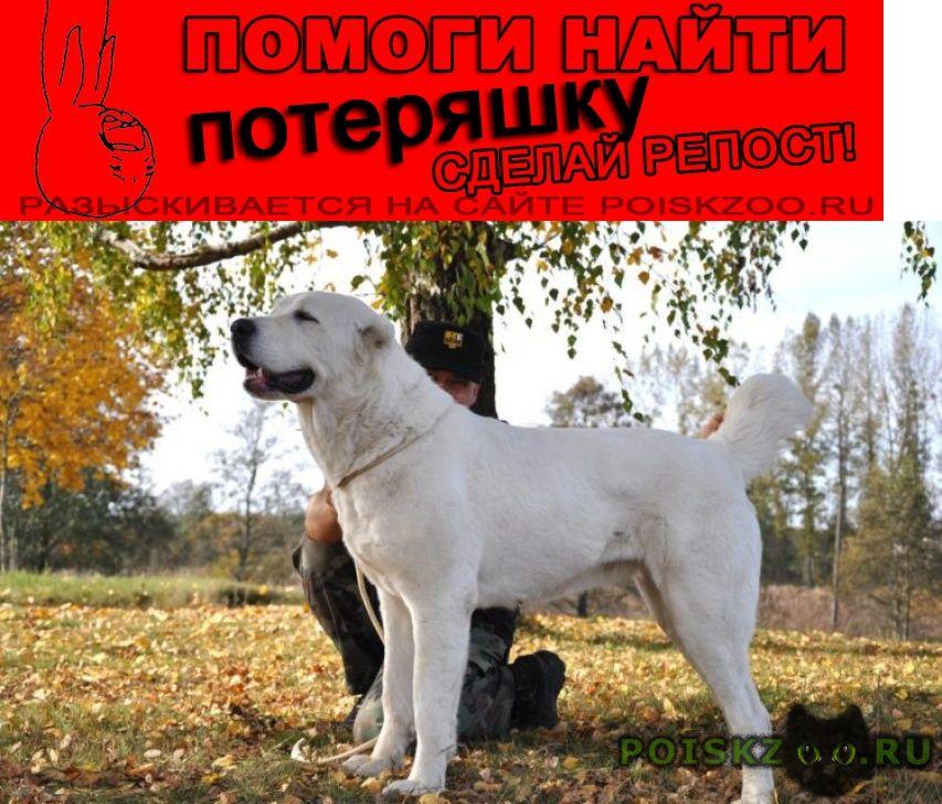 Пропала собака порода алабай г.Челябинск