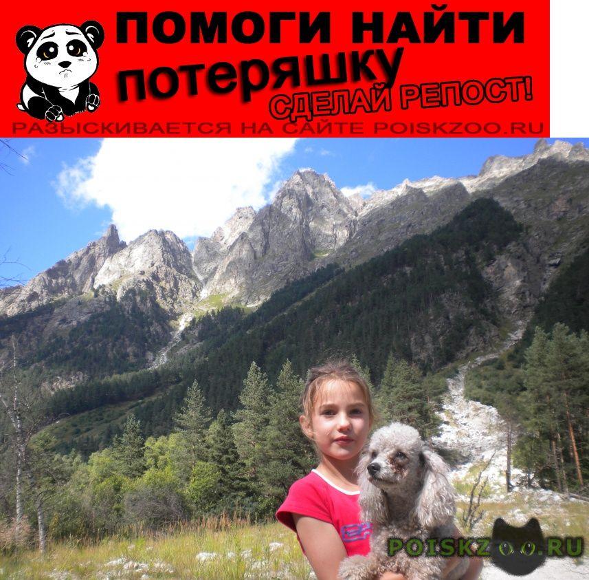 Пропала собака серый пудель г.Пятигорск