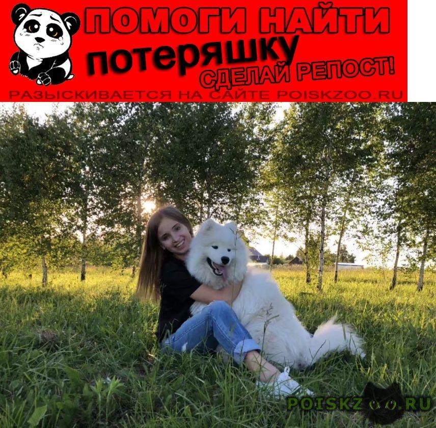 Пропала собака кобель самоед мики 18.11.18 г.Ясногорск