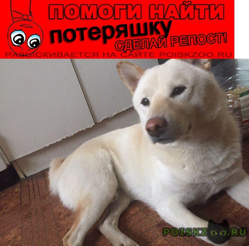 Пропала собака кобель сиба (шиба) ину г.Санкт-Петербург