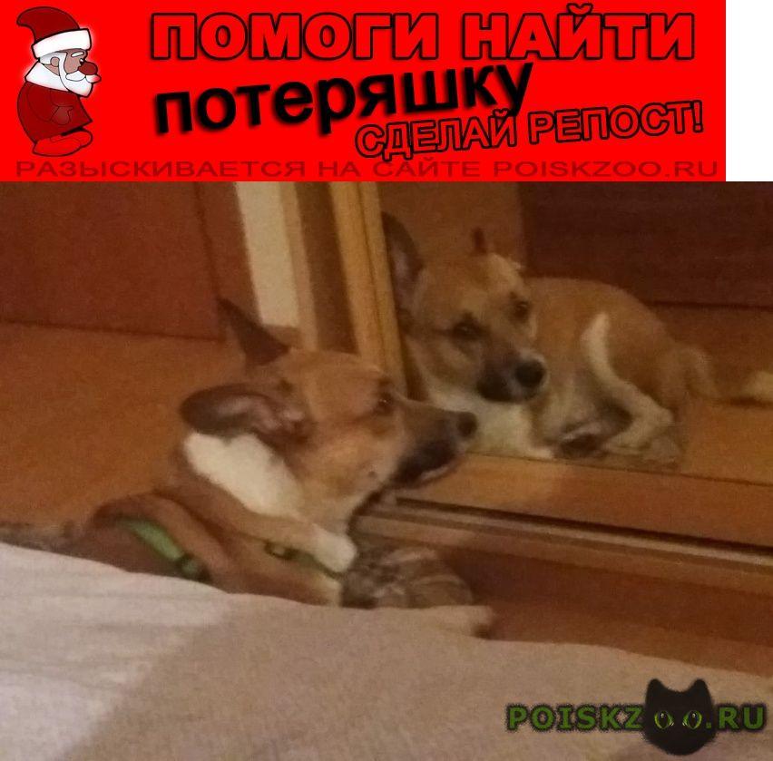 Пропала собака кобель метис корги и джек рассел кличка филя г.Москва