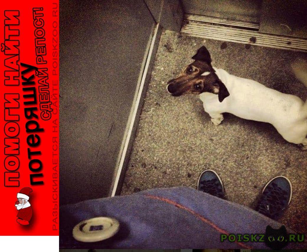 Пропала собака кобель джек рассел в москве г.Москва