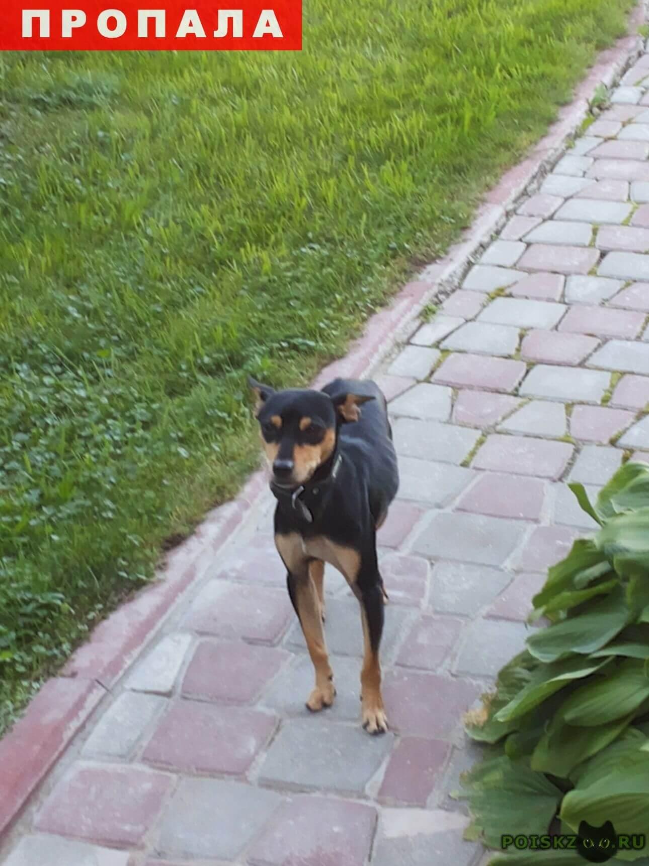 Пропала собака кобель   карликовый пинчер г.Москва