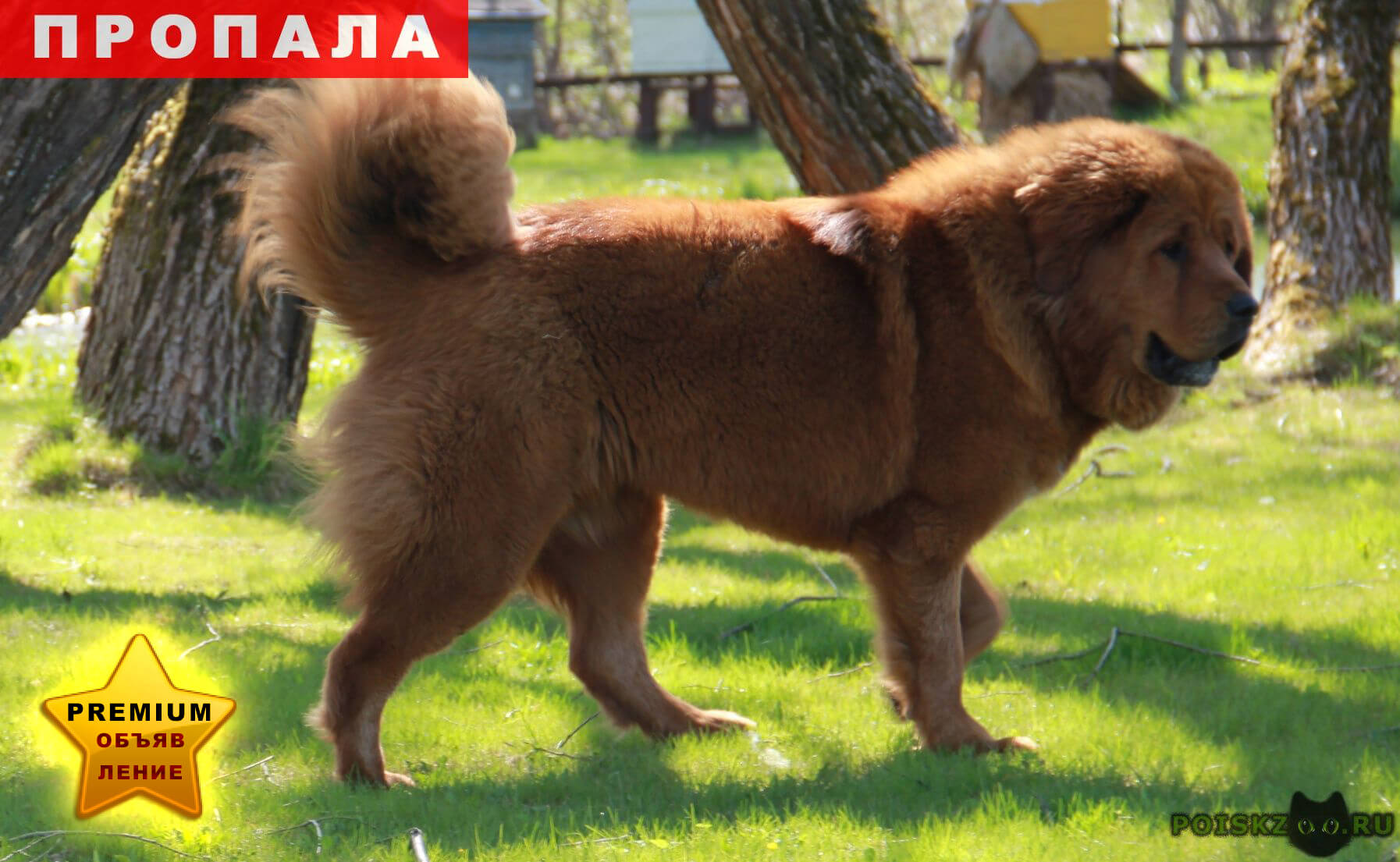 Пропала собака тибетский мастиф г.Киржач