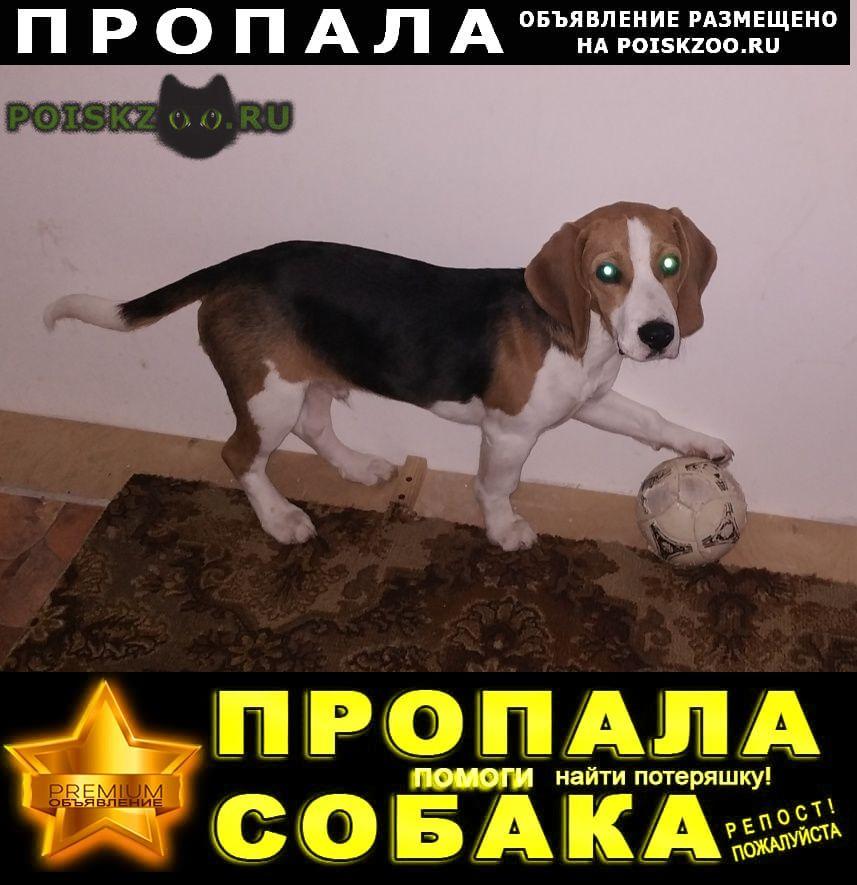 Пропала собака кобель мальчик-бигль г.Кашира