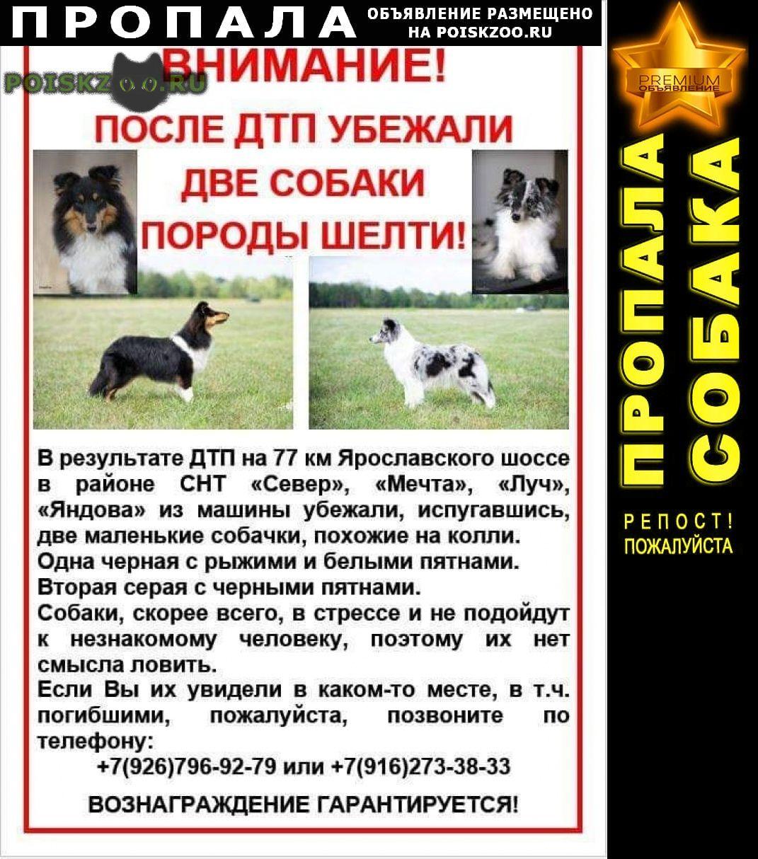Пропала собака (две собаки породы шелти) г.Сергиев Посад