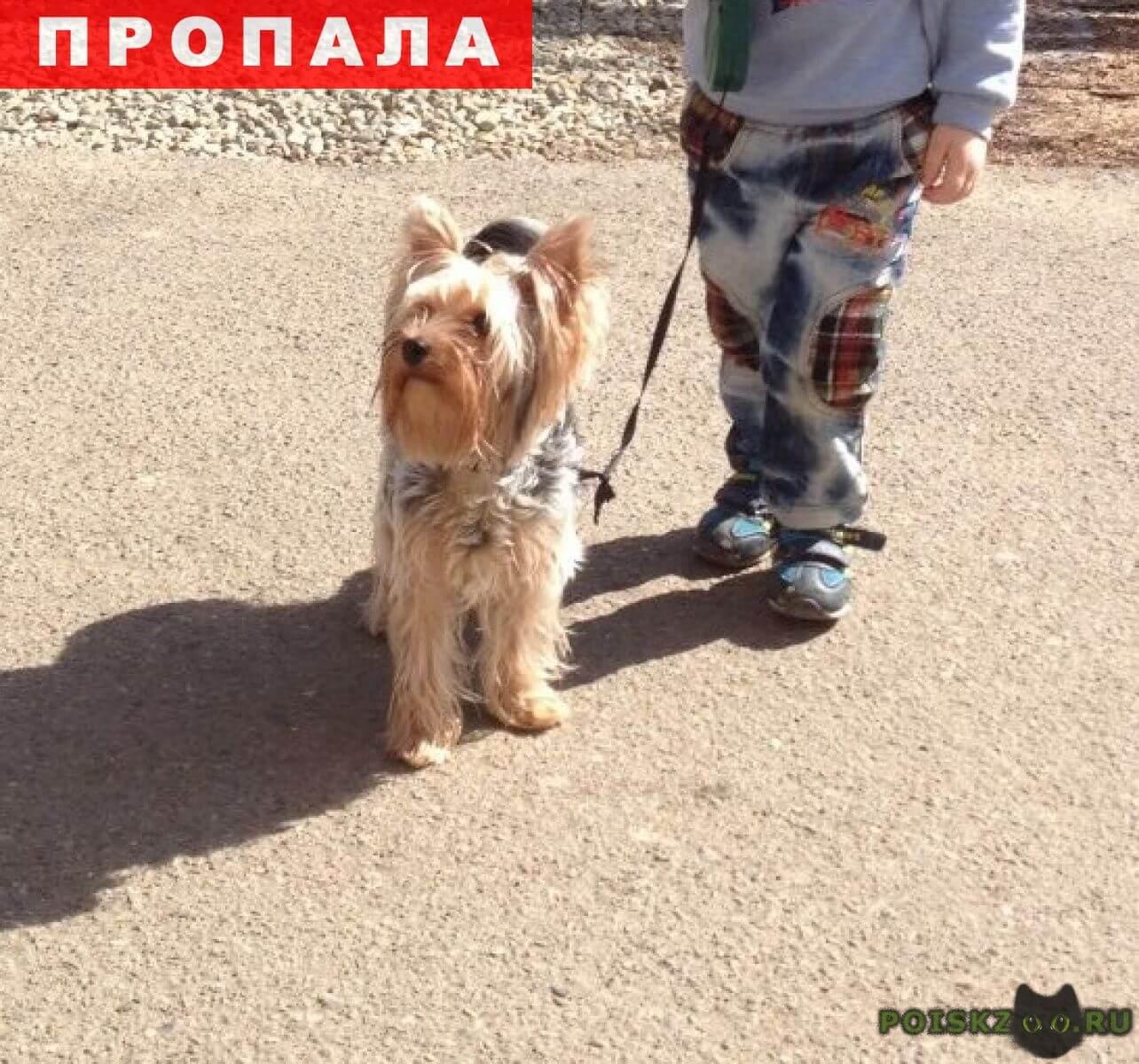 Пропала собака кобель йорк серебристый г.Краснодар