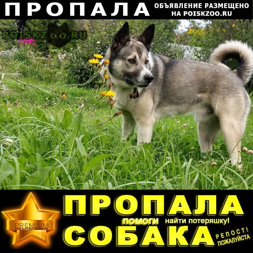Пропала собака кобель лайка   г.Софрино