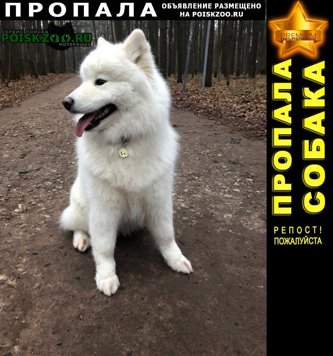 Пропала собака лайка (самоед), мо, север г.Солнечногорск