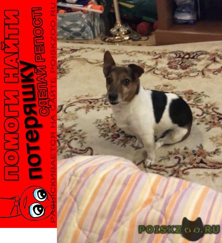 Пропала собака кобель джек рассел г.Балабаново