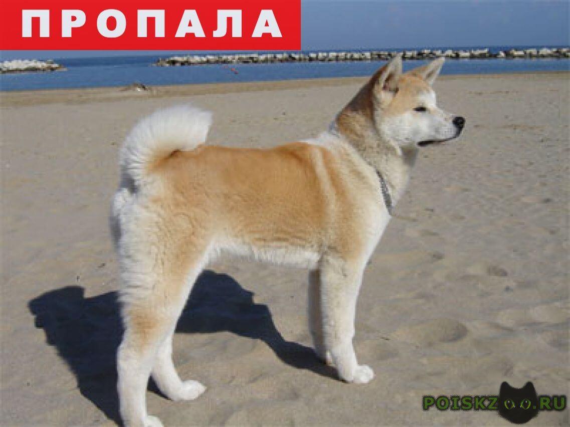 Пропала собака кобель акита ину г.Белгород