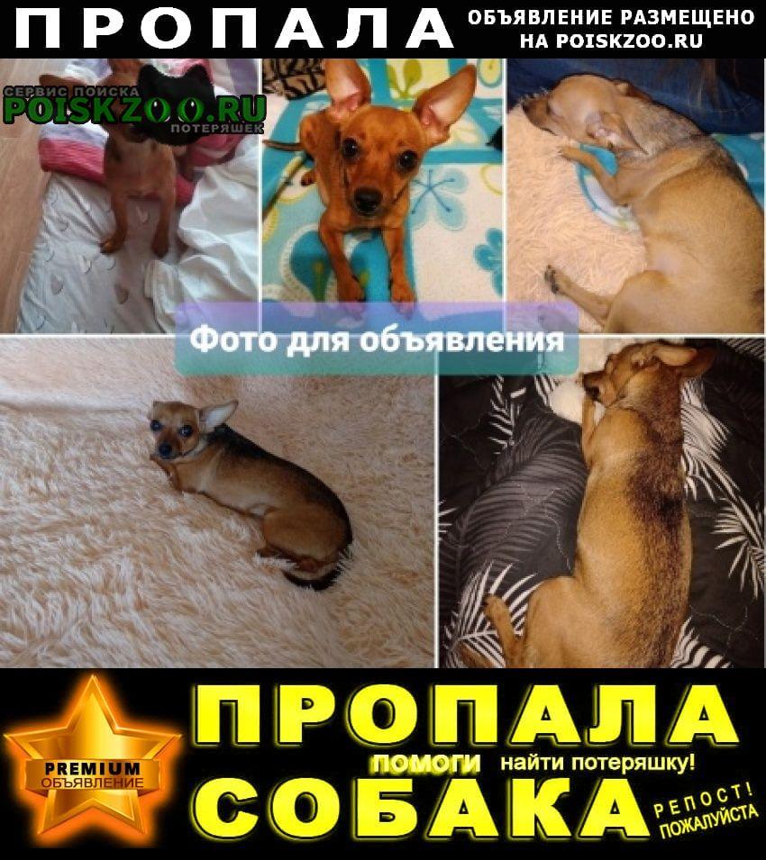 Пропала собака той-терьер (девочка) Екатеринбург
